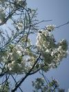 2007sakura_003