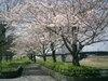 2007sakura_032