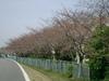20083sakura_004