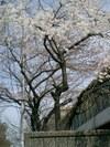 20083sakura_006