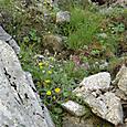 岩かげに咲く高山植物