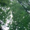 ホウバの大木