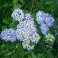 岩岳の紫陽花は今が旬