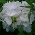 真っ白な紫陽花だ