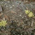 山荘玄関に咲くフキノトウ