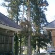神社の杉の大木