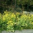 菜の花が満開 富士川