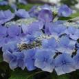 紫陽花も終盤