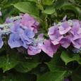 栂池の里と紫陽花