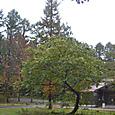 イナバウアー・クルミの木