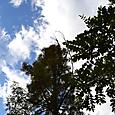 杉と秋の空