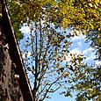 『ちんぐるま』のほうばの木