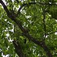キツツキを探そう トチの木