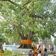 釈迦が悟りを開いた菩提樹の下でお参り
