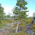 岩を穿つ木