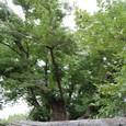 欅(けやき)の巨木
