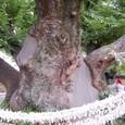 欅の巨木 御神木 邑の守り神