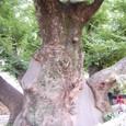この巨木の廻りに邑が出来た