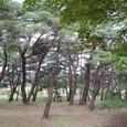 天然記念物の松林