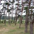 洛東江と天然記念物の松林
