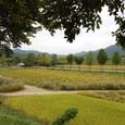 稲と蓮池の風景