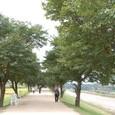 桜並木の洛東江堤防の道