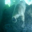 白熊君 立ち泳ぎ