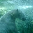白熊君 潜る