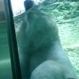 白熊君 鼻だけ水面へ