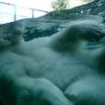 白熊君 背泳