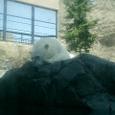 白熊君 疲れて昼寝