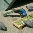 孔雀とホロホロ鳥