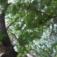 巨木 合歓の木