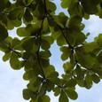 日よけの葉っぱ
