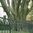 教会の巨木