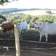 沢山の牛さんがいました