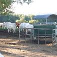 朝飯中の牛さんたち