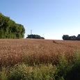 防風林と麦畑