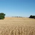 何処までも広がる麦畑