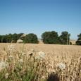 麦畑と防風林