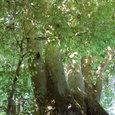 5本の幹が伸びる木