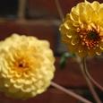 黄色のダリア
