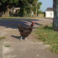 鶏は早起き
