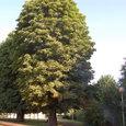 朝日を受ける巨木