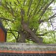 老木と漢昭烈廟