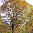立派なブナの木