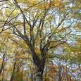 天と地を繋ぐブナの大木 感動!