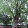 2011年文廟 庭の大木