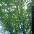 ドングリの木?