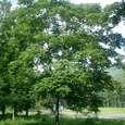これも、クルミの木です。